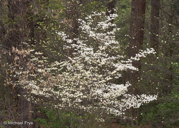 Forest dogwood, 2009 (part of my current exhibit at The Ansel Adams Gallery)
