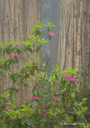 Redwoods and rhododendrons—telephoto view