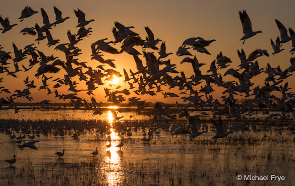 4. Ross's geese taking flight at sunset