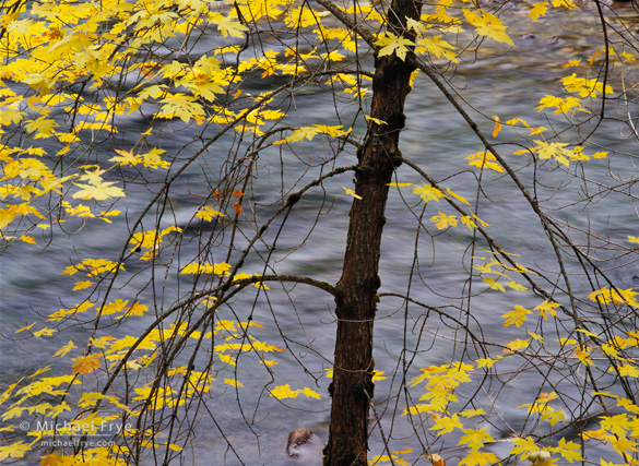 Big-leaf maple along the Merced River in Yosemite Valley from late October a few years ago
