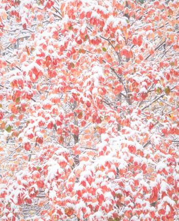 High key dogwood leaves, Friday, 12:40 p.m.