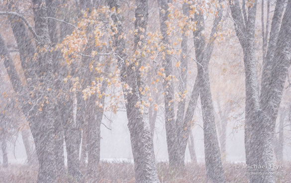 Oaks and blowing snow, 4:05 p.m., Friday