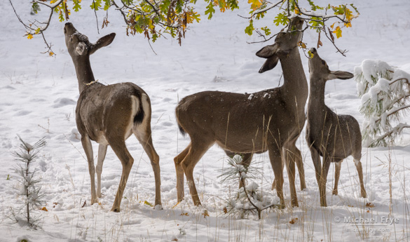 Mule deer does and fawns browsing oak leaves, 9:35 a.m., Saturday