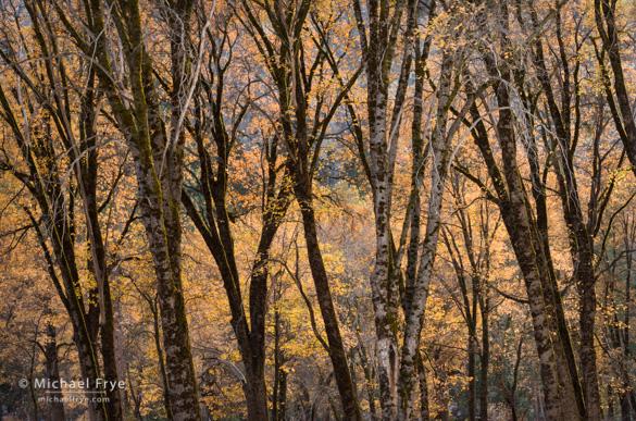Oaks in El Capitan Meadow yesterday