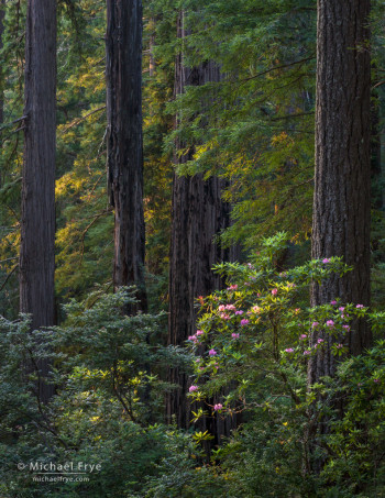 Redwoods and rhododendron, late afternoon, Del Norte Redwoods SP, CA, USA