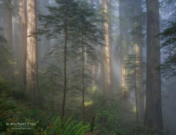 Sun breaking through fog in a redwood forest