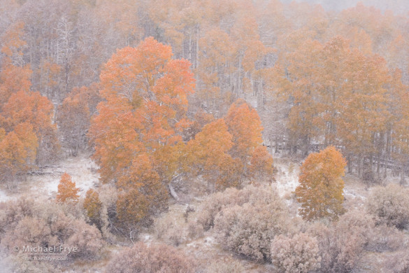 Aspens and willows during an autumn snowstorm, Toiyabe NF, CA, USA