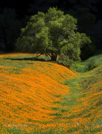 Poppies and canyon oak, Sierra foothills, Sierra NF, CA, USA