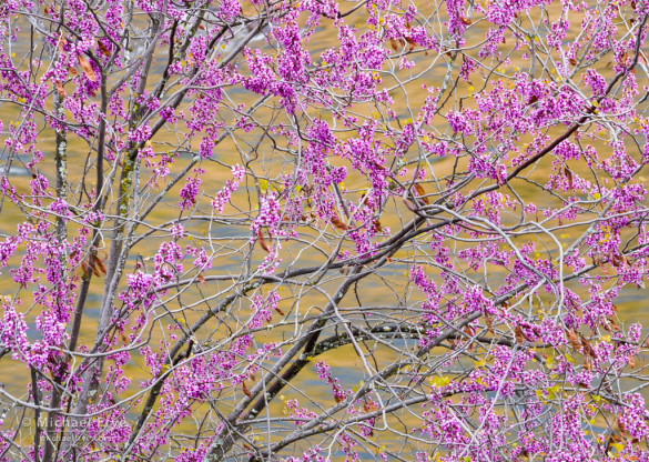 Redbud and river reflections, Merced River Canyon, CA, USA