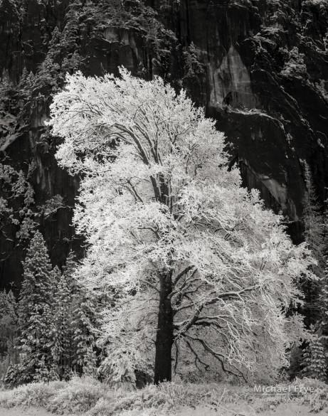 Snowy black oak, Yosemite NP, CA, USA