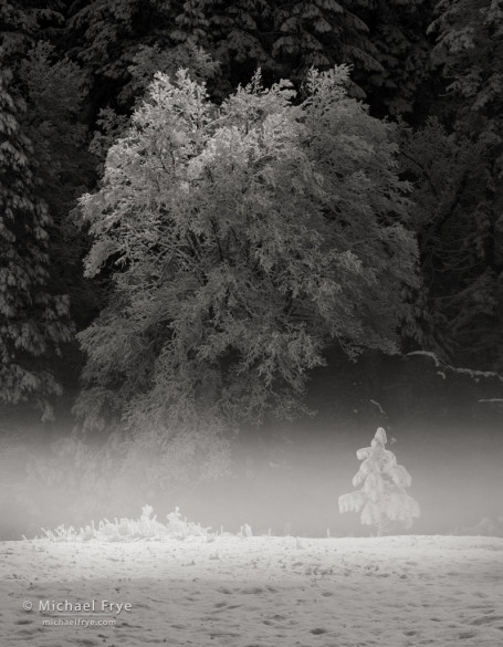 Black oak and young ponderosa pine, Yosemite NP, CA, USA