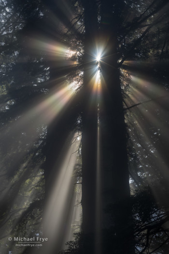 Sunbeams and corona in a redwood forest, northern California, USA