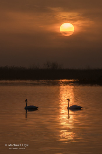 Tundra swans at sunrise in a San Joaquin Valley marsh, CA, USA