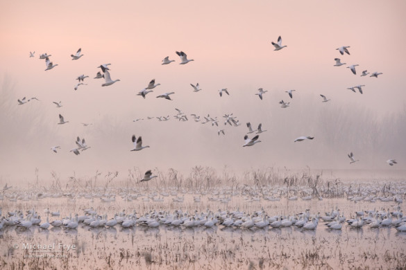 Ross's geese in the fog at sunrise, San Joaquin Valley, CA, USA