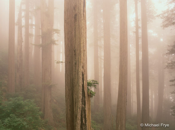 Redwoods in Fog, Del Norte State Park, California