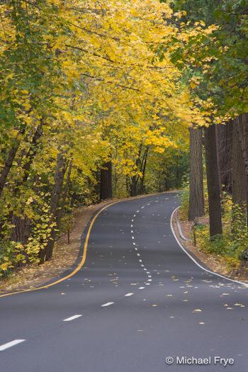 Big-leaf maples along Southside Drive