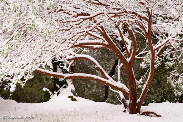 Snow-covered manzanita