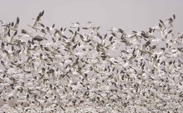 Wall of geese taking flight yesterday at Merced National Wildlife Refuge