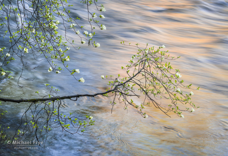 Morning reflections, dogwood and the Merced River, Yosemite NP, CA, USA