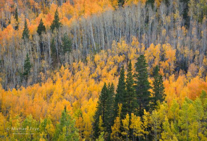 Aspen-covered hillside, Bishop Creek Canyon, Inyo NF, CA, USA