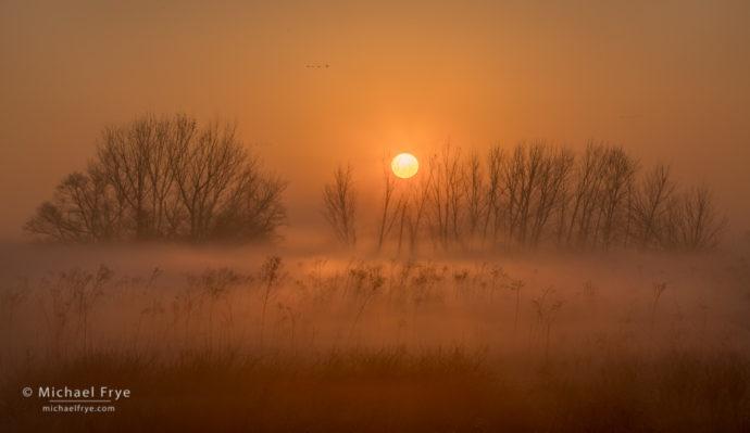 Cottonwood trees and fog at sunrise, San Joaquin Valley, CA, USA