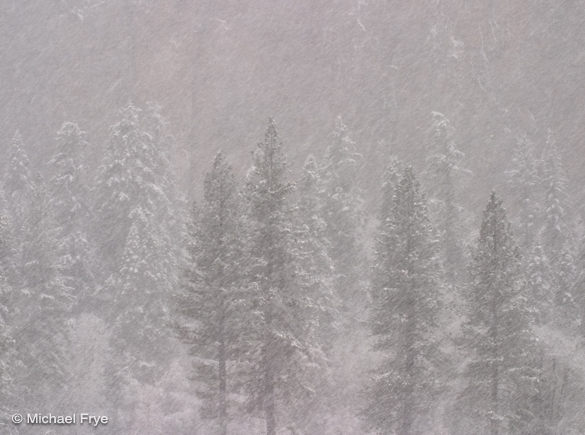 Ponderosa pines in a snowstorm