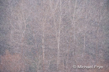 Snowflakes and cottonwood trees