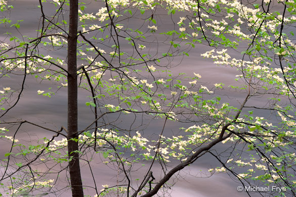 Dogwood along the Merced River, May, 1991