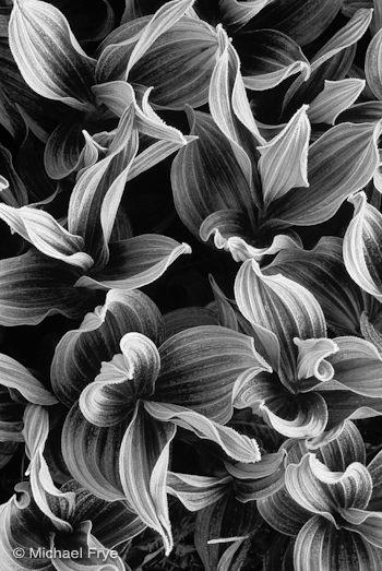 Frost on corn lilies, McGurk Meadow
