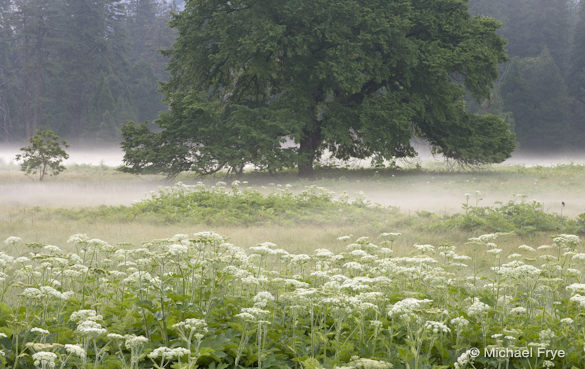 Cow parsnips and the elm tree, Cook's Meadow