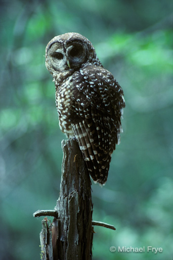Adult female spotted owl