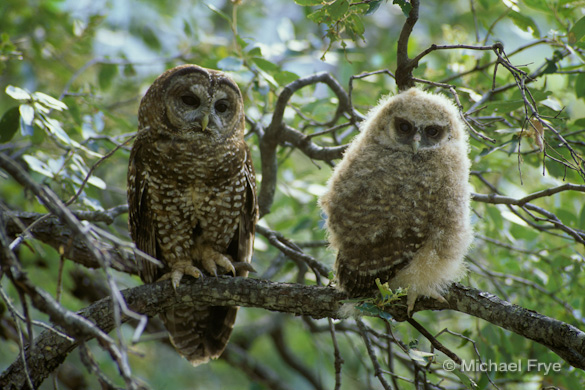 Female spotted owl and one of her fledged owlets