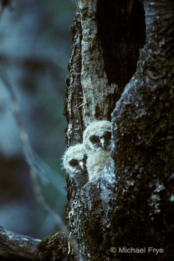 Spotted owlets in the nest cavity