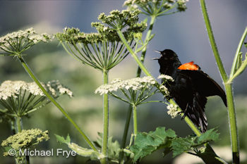 Red-winged blackbird and cow parsnip