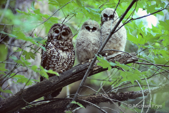 Spotted owl mother and young, shortly after the owlets fledged