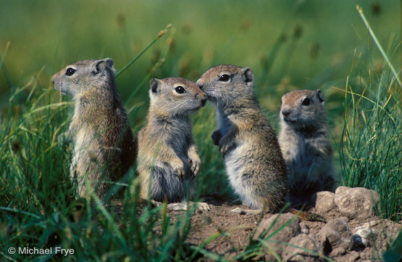 Young Belding ground squirrels standing next to their burrow