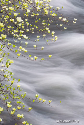 Emerging dogwood along the Merced River (from 2005)