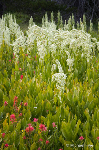 Paintbrush and corn lilies