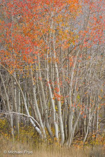 Aspens near Dunderberg, October 11th, 2010