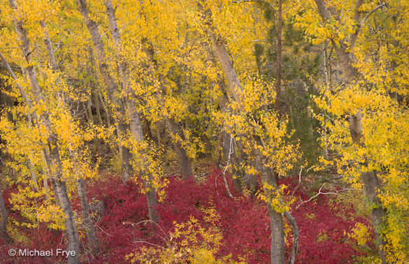 Cottonwoods with a dogwood understory, June Lake Loop