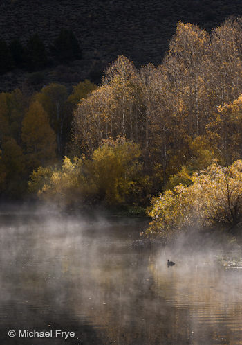 Aspens, willows, and an American coot