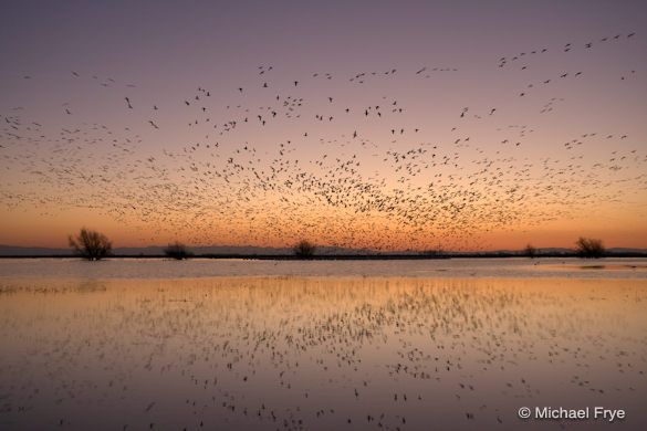 Ross' geese landing at sunset, Merced NWR
