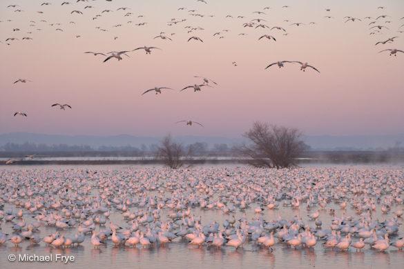 Ross' geese landing, dawn, Merced NWR