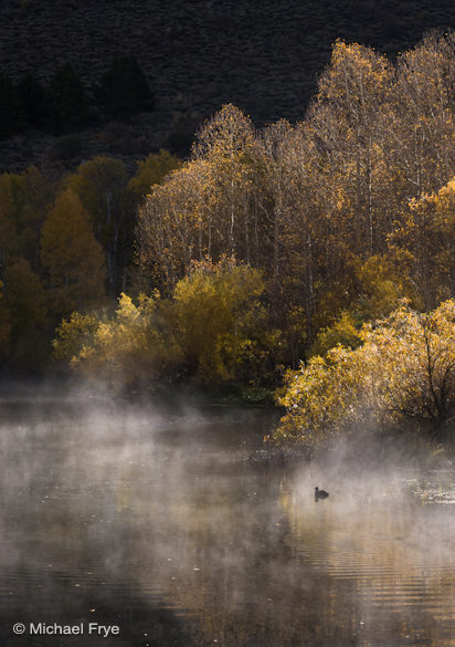 32. Aspens, willows, and an America coot