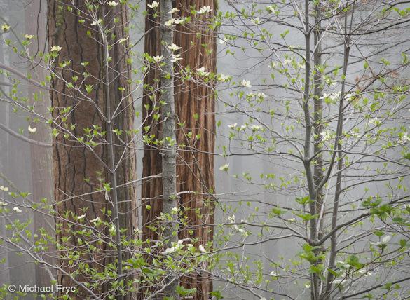 Dogwoods in mist, Yosemite