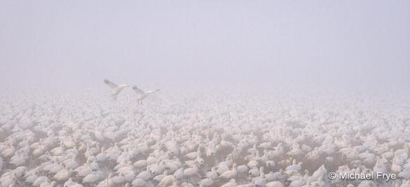 2. Ross's geese landing in the fog
