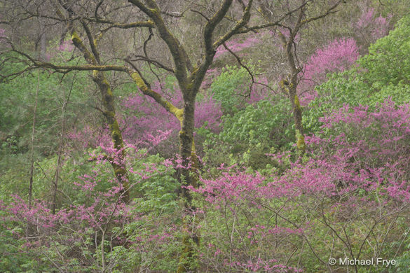 Redbud and oaks, Merced River Canyon, after the point curve was lost in Lightroom 4