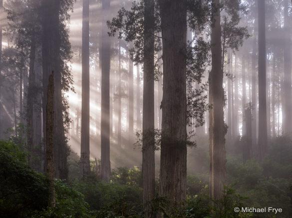 Sunbeams through a misty redwood forest