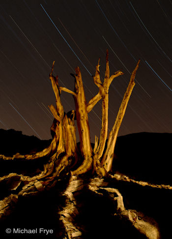 Bristlecone pine snag at night with star trails, White Mountains