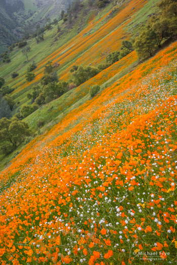 Poppies and popcorn flowers in the Merced River Canyon